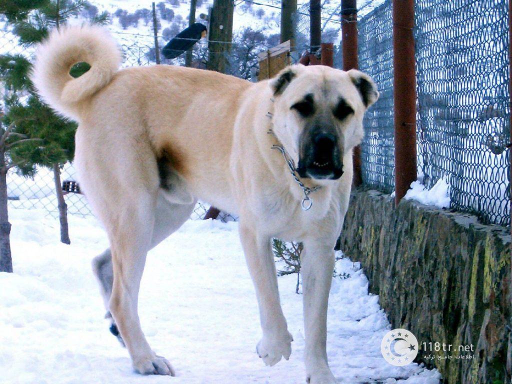 کانگال، سگ اصیل ترکیه 3