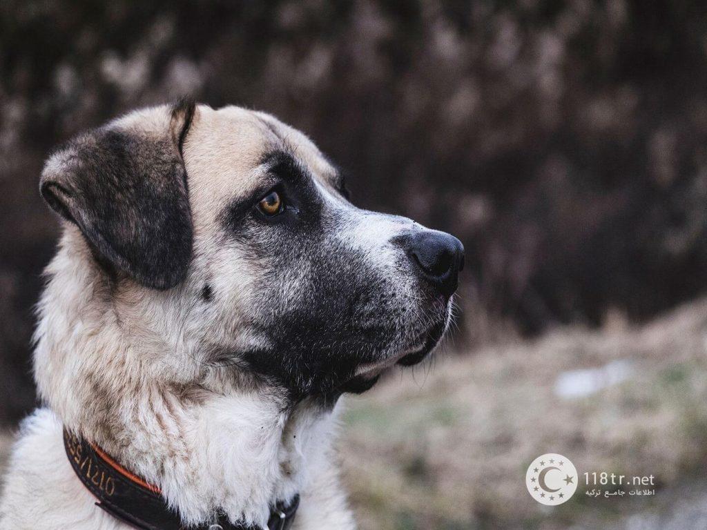 کانگال، سگ اصیل ترکیه 2