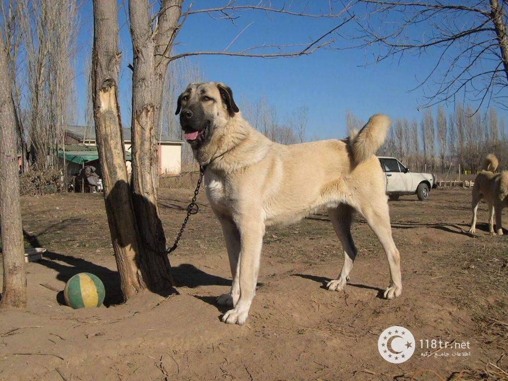 کانگال، سگ اصیل ترکیه 5
