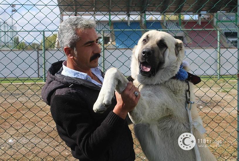 کانگال، سگ اصیل ترکیه 4