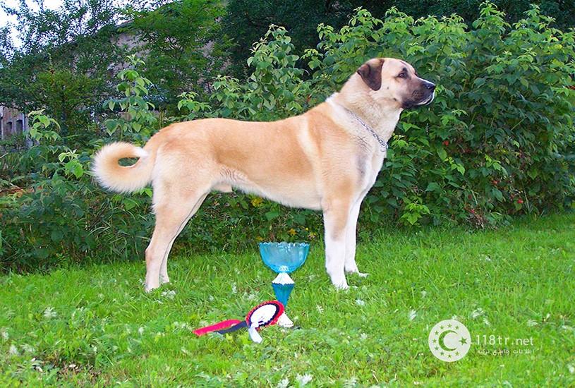 کانگال، سگ اصیل ترکیه 6