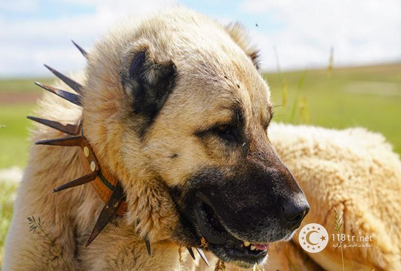 کانگال، سگ اصیل ترکیه 1